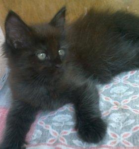 Котёнок мальчик метис мейн-куна 1,5 мес.