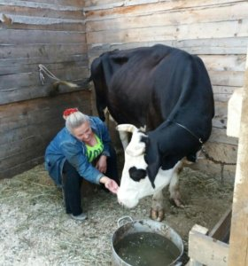 Продам корову и телочку
