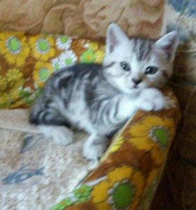 Котята шотландские скоттиш-страйт . мрамор