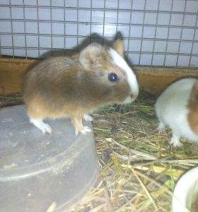 Малыши свинки
