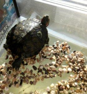 Черепахи морские красноухие х2