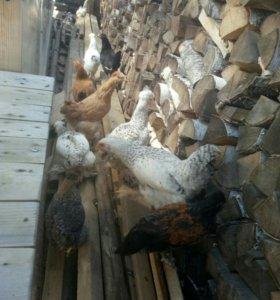 Продам подрощеных цыплят!