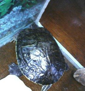 Черепаха с аквариумом