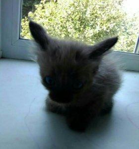 Кошечки сиамские