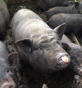 Свинка покрытая