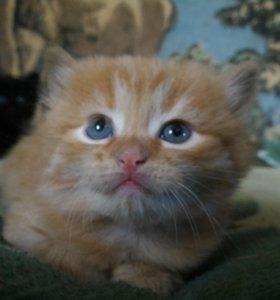 Котёнок рыженький, отдам!