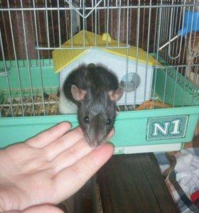 Крыса месте с кледкой торг