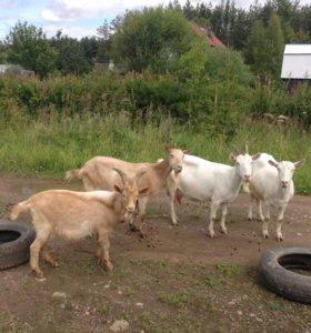Продам 3 козы и одного козла