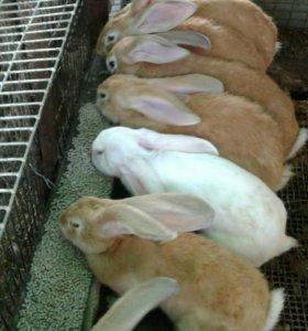 Кролики ризон 2-4 мес цена договарная