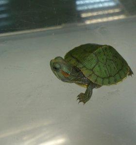 Черепаха водоплавающая