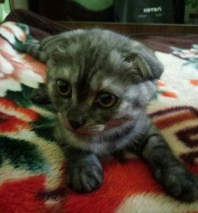 Вислоухая кошка