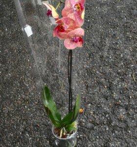 Орхидея фаленопсис Дикий персик