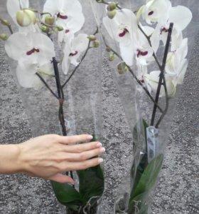 Орхидея Биг Лип Фаленопсис редкая