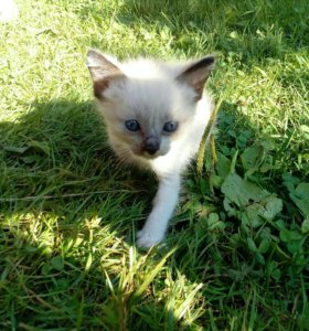 ДАРОМ сиамские котята