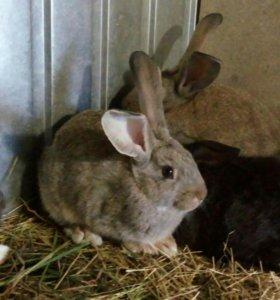 Кролики Фландеры