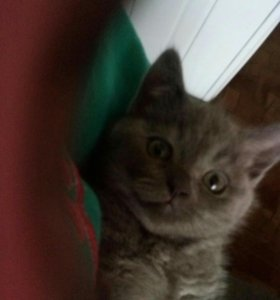 Замечательная страйт кошка пол года от роду