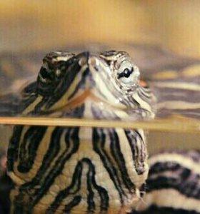 Черепаха красно ухая