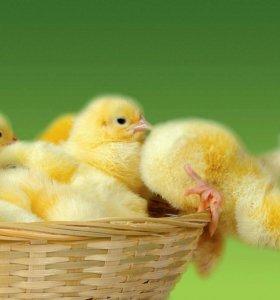 Цыплята деревенских несушек