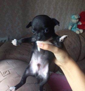 Продаю щенят чихуахуа