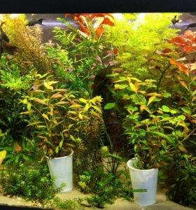 Продам аквариумное растение