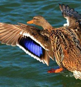 Утки крякухи для охотников