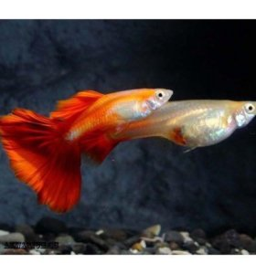 Аквариумные рыбки. Гуппи Красный блондин