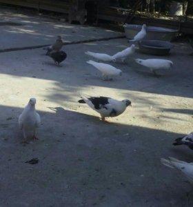 Продаю белых голубей за 100 руб