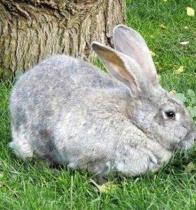 """Кролики породы """"великан"""""""