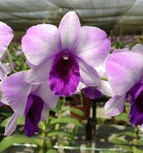 Орхидея Dendrobium Blue Ocean.