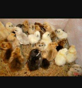 Цыплята под заказ