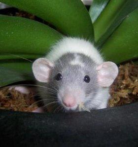 Крысы Дамбо, Рекс, Дабл-рекс и стандарт
