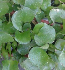 Водное растние