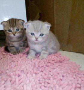 Чистокровные котята,шотландской породы