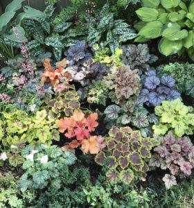 Садовые растения: гейхера