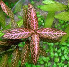 Гигрофила мраморная ( Аквариумное растение )