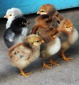 Цыплята от домашних кур несушек
