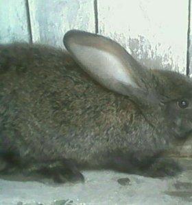 кролики  серый виликан срочно