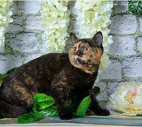 Черепаховый окрас британской кошке.