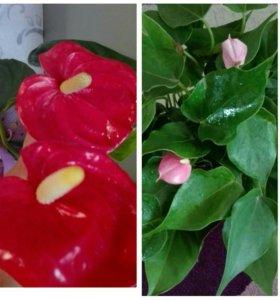 Комнатные цветы большой ассортимент