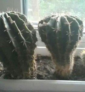 Коллекция кактусов