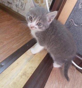 Полубританский котенок