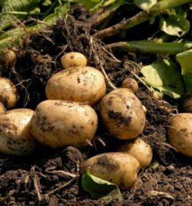Картофель свежий урожай