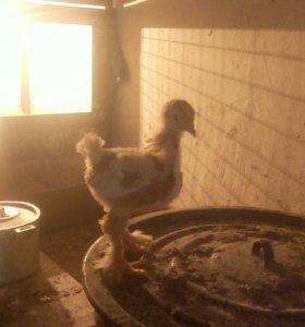 Цыплята лахманогие