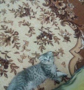 Котик вислоухий 2.3месяца