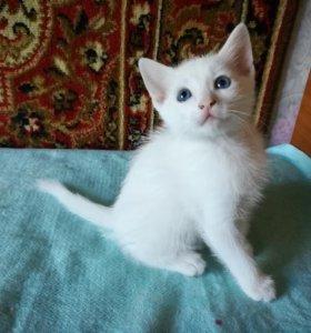 Белые котята