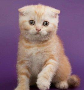 Шотладский котик