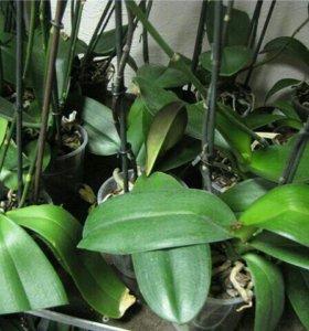 Распродажа отцветших и отцветающих орхидей