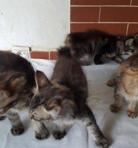 Продам котят японского бобтейла