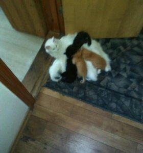 Котята Ангорской кошки. 2белых ,2 черных,1 рыжих.