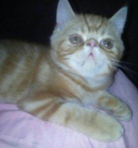 Я самый красивый кот экзот перс